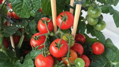 Photo of Od ovih prirodni djubriva paradajz ce vam rasti kao lud.