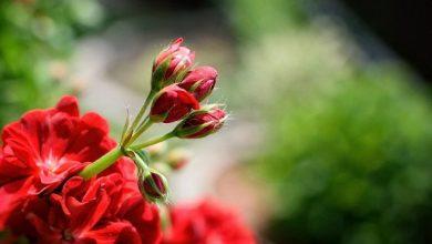 Photo of Kako bi muškatle cvetale do kasne jeseni,potrebno je da ovo dodate u saksiju